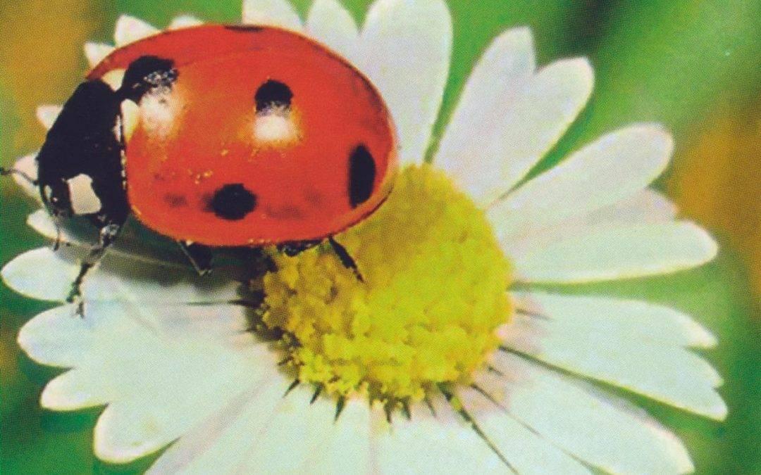 Божьи коровки – занятные насекомые